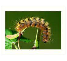 Silver spotted tiger moth caterpillar Art Print