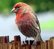 Portrait of a Finch by bicyclegirl