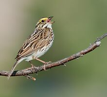 Savannah Sparrow by Wayne Wood