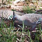 Crested Pigeon by rjcolby