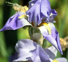 Purple Iris by Tina Longwell