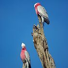 Galahs on a tree by Craig Stronner