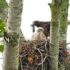 Red Tailed Hawk Nest: Male Arrives with Fresh Prey by David Friederich