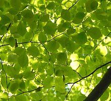 Beech leaves by Tari