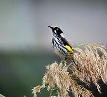 Australian Honeyeater Bird by Sophia Phoenix