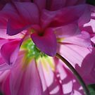 Dahlia pink and backlit by Lozzar Flowers & Art