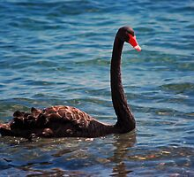 Black Swan Lake by bazcelt