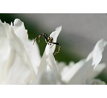 ..small spider Photographic Print
