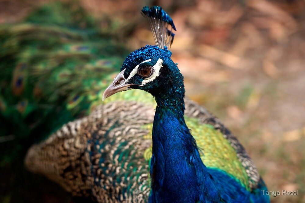 Portrait of a Peacock by Tanya Rossi