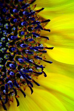 Sunflower by Melissa Drummond