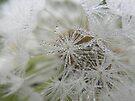 Dew on Dandelion by rhian mountjoy