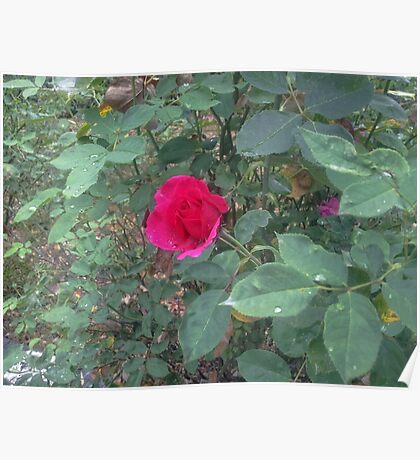 Rose on a Rainy Day Poster