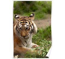 A Bengal tiger eats tonight Poster