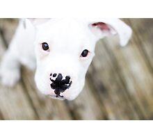 white boxer puppy Photographic Print