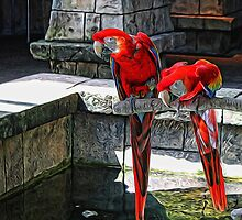 Scarlet Macaws Painted by Judy Vincent