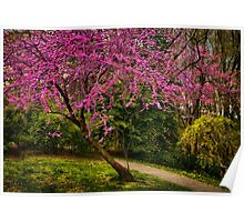 Redbud in bloom Poster
