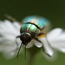jeweled beetle by morgan magras