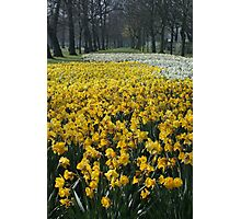 Daffodils at Lancaster Gate Hyde Park Photographic Print