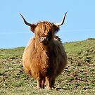 Highland Cow by InfotronTof