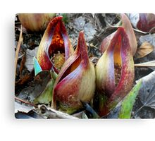 Skunk Cabbage - Spathe With Spadix  Metal Print
