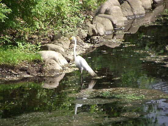 The Great Egret cooling his feet by Sinclere