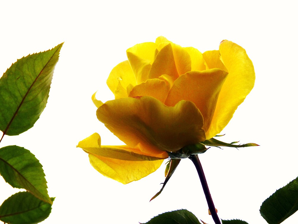 My first rose of the season by artfulvistas