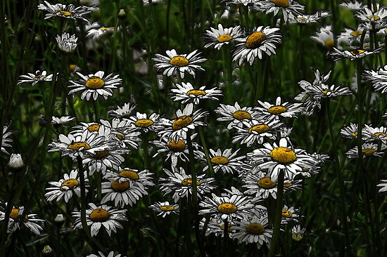 Memories Of A Daisy Field by velveteagle