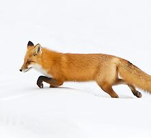 Red Fox hunting in snow by Greg Schneider