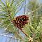 Pine Cone by DebbieCHayes