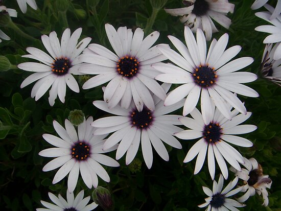 Six Pack of Daisies by jdbussone