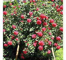 An Easel of Divine Roses Photographic Print