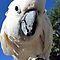 Daisy ~ Moluccan/Salmon-crested Cockatoo by Kimberly P-Chadwick