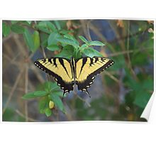Tiger Swallowtail-topside Poster