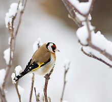 Finch n Snow by Janika