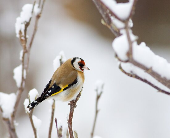 Finch n Snow by Janika