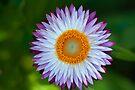 Daisy Wheel by Renee Hubbard Fine Art Photography