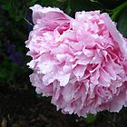 Peonie After the Rain by kathrynjoyphoto