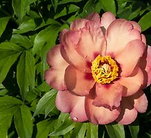 Exotic Beauty - Unusual Peony Basking in the Sunshine by Georgia Mizuleva