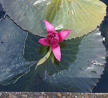 Pink Lotus  by Virginia McGowan