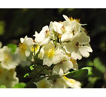 Brier Sweet Photographic Print