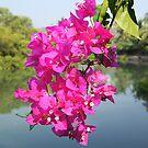 Bougainvilleas overhanging Baga River Goa. by Alan Gillam