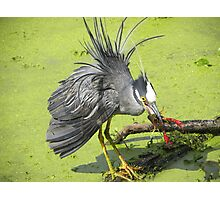 Yellow-crowned Night-Heron Photographic Print