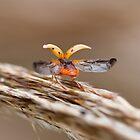 Lift Off - Olla Abdominalis - Ashy Gray Ladybug by luc1ddr3am