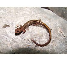 Two-Lined Salamander Photographic Print