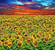 Sundown Sunflowers by Connie Smith