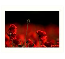 Poppies 002 Art Print