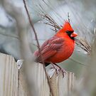~Vibrance of a Cardinal~ by Kelly Normandeau