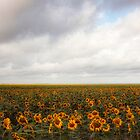 Field of sunflowers by bettywiley