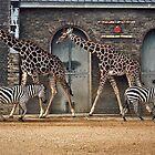 Spots and Stripes - London Zoo by David J Dionne
