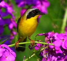 Pink a Boo - Common Yellowthroat Warbler by John Absher